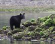 Black bear standing on rocks at low tide Tofino British Columbia Canada
