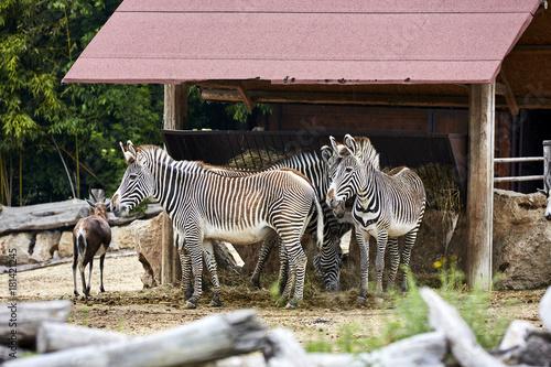 Sticker Zebra di Grevy