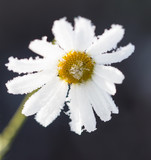chamomile flower in ice
