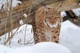 Lynx - 181437078