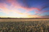 Dramatic sunset over wheat field