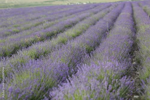 Foto op Plexiglas Lavendel Flowering lavender field in June on the peninsula of Crimea