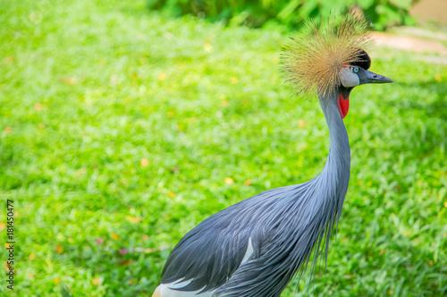 Grey crowned crane on green grass. Balearica Regulorum Poster