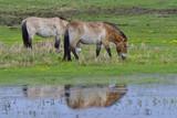 Przewalski-Pferde - 181455830