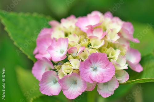 Fotobehang Hydrangea 満開の紫陽花の花
