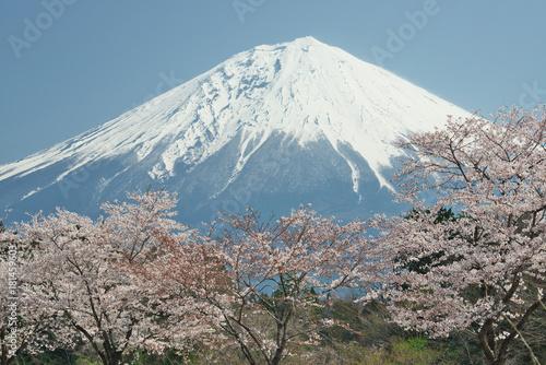 満開の桜の花と富士山 Poster