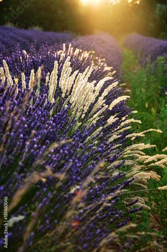 Aluminium Lavendel lavande au couchant