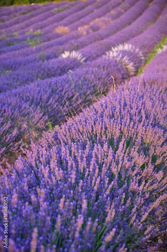 Foto op Canvas Lavendel champs de lavandes
