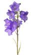 eight violet bellflower blooms on stem