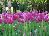 Tulips - 181486624