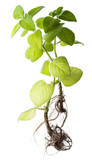 Indian borage, Plectranthus amboinicus - healthy plant - piece of plant with new roots - 181488666