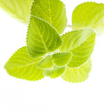 Indian borage, Plectranthus amboinicus - healthy plant - 181488845