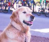 Golden Retriever Hund, draußen