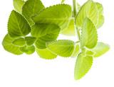 Indian borage, Plectranthus amboinicus - healthy plant - 181489024