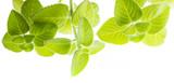 Indian borage, Plectranthus amboinicus - healthy plant - 181489253