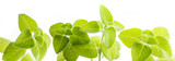 Indian borage, Plectranthus amboinicus - healthy plant - 181489410