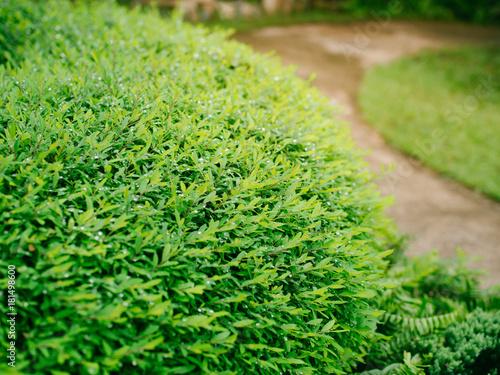 Papiers peints Vert Shrubs green in the garden