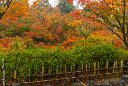Japan, Kyoto Autumn beautiful maple tree with colorful autumn leaves © ratnakorn