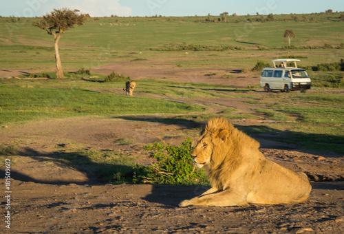 Staande foto Afrika Big male lion in Masai Mara nature reserve in Kenya