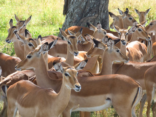 A flock of impalas cools in the shadow under a tree. Kenya.