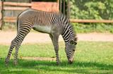 Grevy's zebra foal or imperial zebra (Equus grevyi) - 181516619