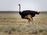 ostrich in the savanna - 181526032