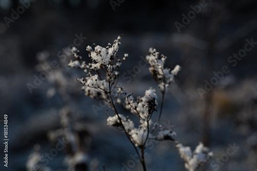 Fotobehang Grijze traf. Snow on a frozen flower