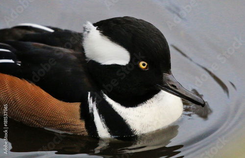 Plexiglas Pinguin Duck