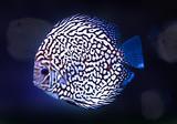 diskus exotic fish aquarium color blue isolated background nature animal - 181542277