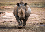 Rhino - 181560231