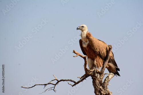 Plexiglas Eagle The griffon vulture (Gyps fulvus)
