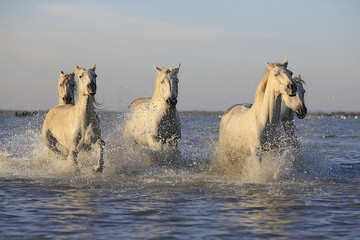 white horses runing in the sea