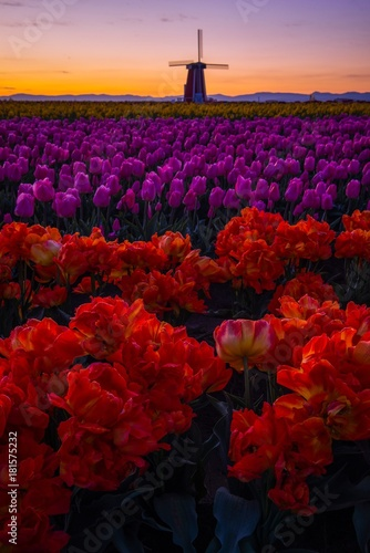 Fotobehang Tulpen Tulips at First Light