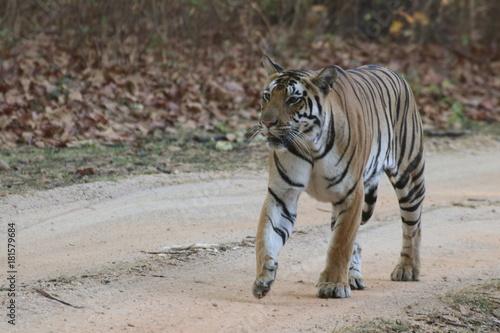 Sticker Bengal tiger in Kanha National Park, Inida