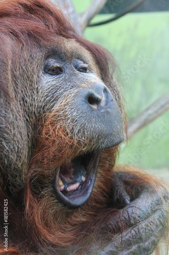 Fotobehang Aap orangutan monkey head