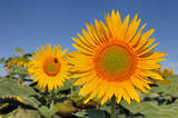 large sunflower in a field under blue sky