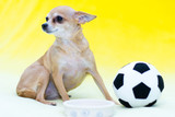 Little Toy Terrier on a yellow background