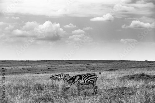 Foto op Canvas Grijs Zebras in der Maasai Mara