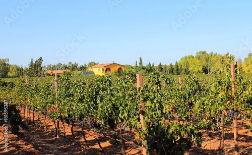 Keuken foto achterwand Wijngaard Vineyard in Sardinia