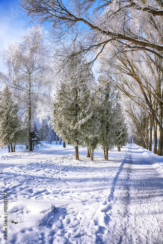 Plexiglas Berkenbos Snow-covered trees in the city park