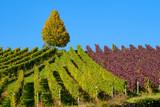 Weinberg im Herbst - 181624401