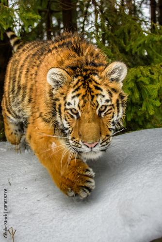 tiger, siberian tiger(Panthera tigris altaica) Poster