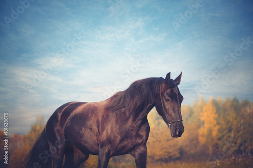 Portrait of black horse on the yellow autumn and blue sky background