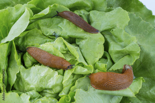 snail with lettuce leaf - 181634842