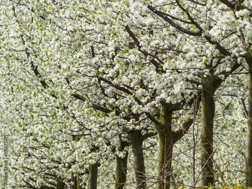 Keuken foto achterwand Planten blossoming fruit trees in spring
