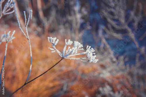 Plants in a winter field covered with frost - 181642477