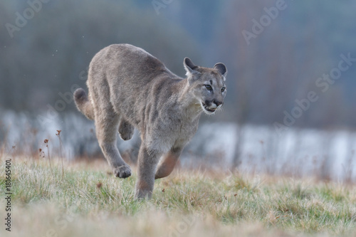 Fotobehang Kangoeroe Cougar (Puma concolor