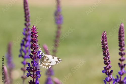 Fotobehang Vlinder butterfly on flower wild Sage