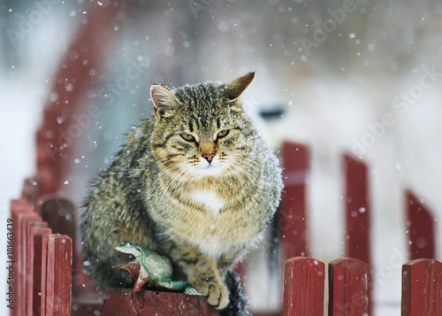 Fotobehang Kat interesting portrait textured striped street cat sits on a wooden fence during a snowfall