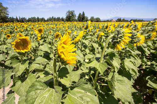 Staande foto Geel Big sunflower field
